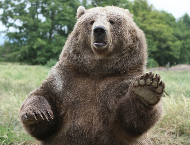 Image Gallery waving bear Cute Grizzly Bear Waving