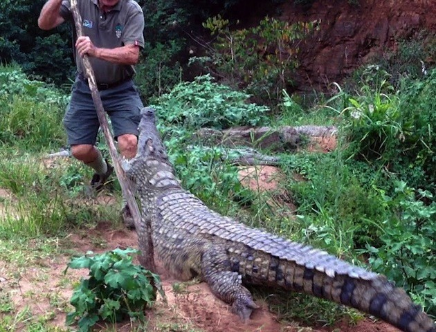The Moment A Mama Crocodile Attacks Her Keeper