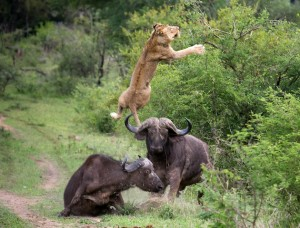 Buffalo sends lion flying in the air to escape death