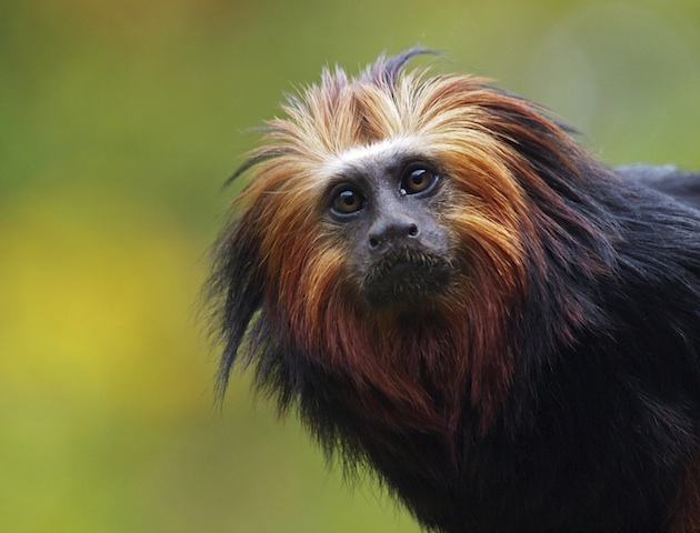 cute animals: golden lion tamarin
