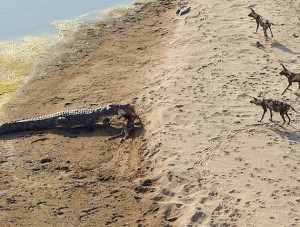 Lone Crocodile Steals Impala Kill From Pack Of Wild Dogs