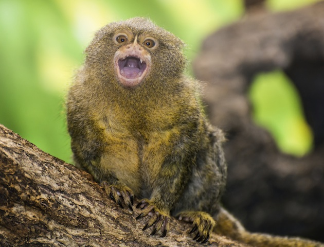 cute animals: pygmy marmoset
