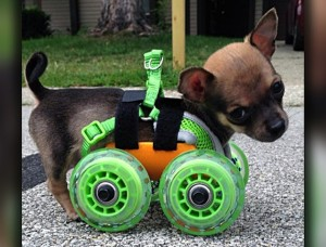 Turbo-Roo - Cute Two-Legged Chihuahua Given Wheels To Move Independently