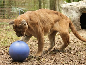 Big Cat Rescue: Cougar Rescued With Life Saving Surgery