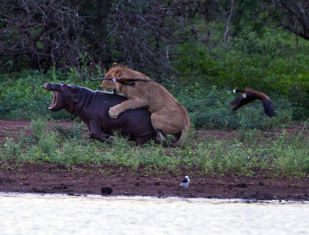 Watch Mama Hippo Fights Lion To Save Her Baby