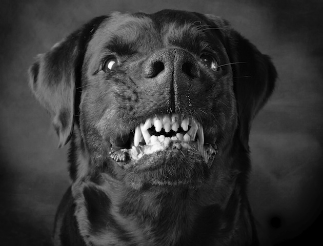 Dogs: snarling dog with big teeth
