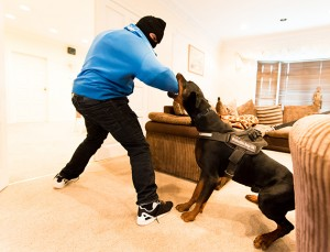 *** EXCLUSIVE - VIDEO AVAILABLE ***  BRADFORD, UNITED KINGDOM - JUL 29: Drago the Doberman savages professional dog trainer Robert Dye (wearing a balaclava) during a mock burglary, which the trainers do to test their dogs' reactions, on July 29, 2015, in Bradford, United Kingdom.  MEET the dogs  schooled to wrestle a gun away from an attacker or savage an intruder on command.  The fearless canines sell for upwards of £20,000 to VIPs including foreign dignitaries and Premier League footballers fearful of armed robbers or kidnappers looking for a hefty ransom. The dogs are sourced from around the world - from Serbia and Czech Republic to American and Russia - by Bradford-based trainers Robert Dye, 30, and Leedor Borlant, 25, who run Protection Dogs UK. The set features shots of Mario, a gigantic 127lb Cane Corso is now owned by trainer Leedor,  and Drago - a 92lb Doberman with a price-tag of more than £25,000.   PHOTOGRAPH BY Jonathan Pow / Barcroft Media  UK Office, London. T +44 845 370 2233 W www.barcroftmedia.com  USA Office, New York City. T +1 212 796 2458 W www.barcroftusa.com  Indian Office, Delhi. T +91 11 4053 2429 W www.barcroftindia.com