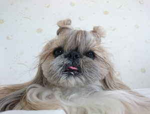 *** EXCLUSIVE - VIDEO AVAILABLE ***  UNSPECIFIED - UNDATED: Kuma the Shih Tzu and Pekingese cross is inspired by baby spice's popular hairstyle.  SPORTING everything from plaits to flower crowns and messy buns, this Japanese dog's hairstyles put the average It Girl to shame.  Kuma, a Shih Tzu and Pekingese cross, has racked up more than 18,500 followers on her Instagram page which showcases her luscious locks. Owner Yuki said: ?I do Kuma?s hair on my own, it?s an original style. I get inspiration for the hairstyles from the internet.   PHOTOGRAPH BY @ moem_n / Barcroft Media   UK Office, London. T +44 845 370 2233 W www.barcroftmedia.com  USA Office, New York City. T +1 212 796 2458 W www.barcroftusa.com  Indian Office, Delhi. T +91 11 4053 2429 W www.barcroftindia.com