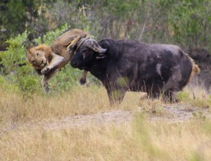 *** EXCLUSIVE - VIDEO AVAILABLE ***  KRUGER NATIONAL PARK, SOUTH AFRICA - APRIL 08: The unlucky lion was gored in its leg on April 08, 2015 in Kruger National Park, South Africa.  HAVING already flipped one lion, a never-say-die buffalo found an ingenious way to shake off its second attacker - by using its horns to puncture a car tyre. The resulting loud release of air was enough to scare away the big cat, forcing it to release its vice-like grip and flee. The buffalo was targeted by a pair of male lions but had already managed to dispatch the first one by flipping him into the air with its horns, leaving the lion with a gaping leg wound. The dramatic scene unfolded in front of cars full of tourists in Kruger National Park, South Africa - where it was caught on video by Hannes van Aswegen and photographed by Gerda Niemann.  PHOTOGRAPH BY Greatstock / Barcroft Media  UK Office, London. T +44 845 370 2233 W www.barcroftmedia.com  USA Office, New York City. T +1 212 796 2458 W www.barcroftusa.com  Indian Office, Delhi. T +91 11 4053 2429 W www.barcroftindia.com