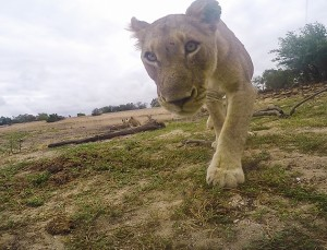 *** EXCLUSIVE - VIDEO AVAILABLE ***   MAKANYI LODGE, SOUTH AFRICA - FEBRUARY 18: Lion approaches the GoPro camera on February 18, 2016, Makanyi Lodge, South Africa.  **GC** A PRIDE of cheeky lions decided to get their 15 minutes of fame by stealing a GoPro. Lions from the Avoca pride at Makanyi Lodge in Timbavati Game Reserve, South Africa, nonchalantly strolled up to the camera - before one of the cats decided to put the camera in its jaws. Photographer Massimo Da Silva placed his GoPro camera near the majestic animals hoping to capture some unique footage, however it did not go according to plan. Hoping to outsmart the lions, Massimo attached his camera set-up to a length of fishing nylon for a quick retrieval - but failed to account for their quick reflexes. Massimo was left shocked when the two big cat burglars easily took the GoPro to the rest of their pride.   PHOTOGRAPH BY Greatstock / Barcroft Media  UK Office, London. T +44 845 370 2233 W www.barcroftmedia.com  USA Office, New York City. T +1 212 796 2458 W www.barcroftusa.com  Indian Office, Delhi. T +91 11 4053 2429 W www.barcroftindia.com