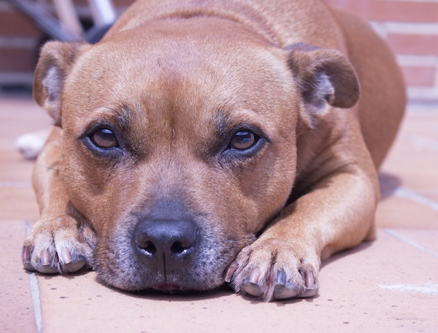7 Reasons Why Staffies Are Great Dogs To Own