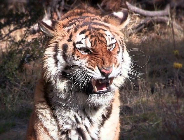 Survive Tiger Attack on Food Bingo