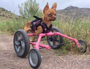 *** EXCLUSIVE - VIDEO AVAILABLE ***  ROCKY MOUNTAIN NATIONAL PARK, COLORADO - JULY 2016: Daffodil makes her way up the mountains on her hike with her pink wheels, taken in Rocky Mountain National Park, Colorado, July 2016.  A DISABLED chihuahua doesn?t let anything get in her way of enjoying life as a normal, playful puppy. In Autumn 2015, Daffodil was found abandoned in a cardboard box on the streets by a Good Samaritan who took the neglected puppy to the nearby rescue centre, San Francisco SPCA. This tiny puppy was born with a congenital forelimb deformity, resulting in her front arms never fully developing. The quick-thinking veterinary staff fitted Daffodil with custom made wheels, and after a little practice, the pooch was able to walk and run. Shortly after, veterinary technician Olivia Kong fell in love with this cute canine and adopted her from the rescue centre. And just over a year after she was found - approaching first birthday - Daffodil went on her first hike.  PHOTOGRAPH BY  Olivia Kong / Barcroft Images   London-T:+44 207 033 1031 E:hello@barcroftmedia.com - New York-T:+1 212 796 2458 E:hello@barcroftusa.com - New Delhi-T:+91 11 4053 2429 E:hello@barcroftindia.com www.barcroftmedia.com
