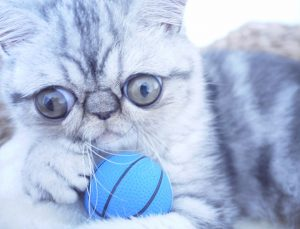 *** EXCLUSIVE - VIDEO AVAILABLE ***  COPENHAGEN, DENMARK - JULY 2016: Herman, the exotic shorthair plays with a miniature blue basketball, taken in Copenhagen, Denmark, July 2016.  This kitten looks like the ultimate scaredy cat as he gives new meaning to the term ?wide eyed?. Herman, an exotic shorthair, was born with exceptionally big eyes - giving him a permanently startled expression. The five-month- old kitty lives in Copenhagen, Denmark, with his doting owner Shirley, 26.  PHOTOGRAPH BY Shirley Nordenskiold / Barcroft Media   London-T:+44 207 033 1031 E:hello@barcroftmedia.com - New York-T:+1 212 796 2458 E:hello@barcroftusa.com - New Delhi-T:+91 11 4053 2429 E:hello@barcroftindia.com www.barcroftmedia.com