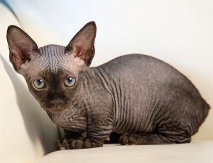 Cute or creepy? These hairless cats are perfect pets for people with  allergies