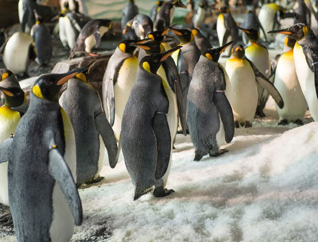 image of lots of penguins