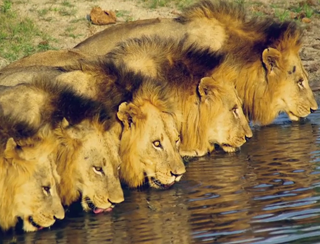 brothers in blood the lions of sabi sand hd