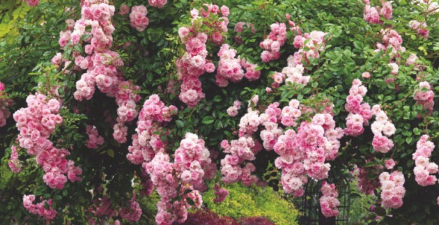 Roses In Garden: Growing Healthy Roses: 10 Top Tips You Need To Know