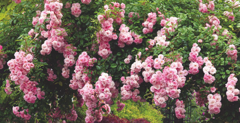 Growing Healthy Roses 10 Top Tips You Need To Know