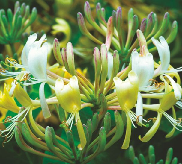 Night Scented Flowers The 10 Best Flowers To Choose
