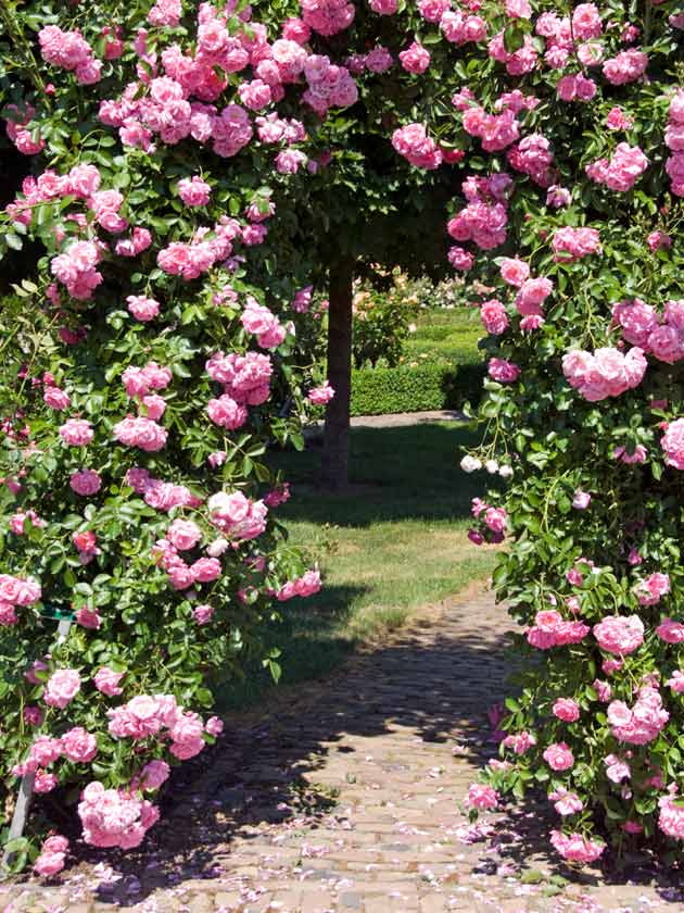 Pink Climbing Rose Bower