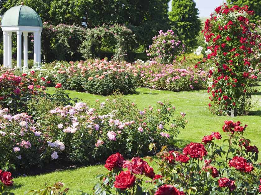 Beautiful Garden Rose Varieties For Glorious Summer Colour