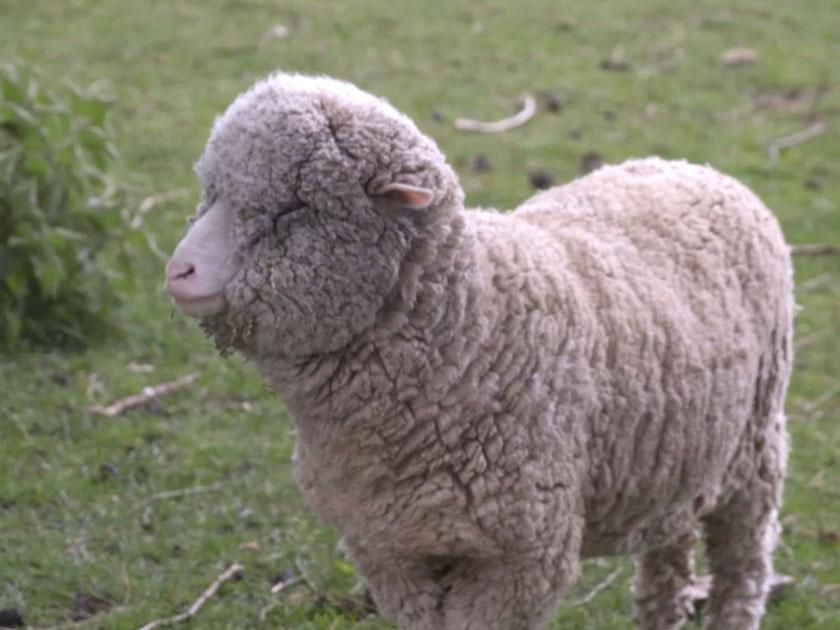 British Wool From Lambswool To Yarn