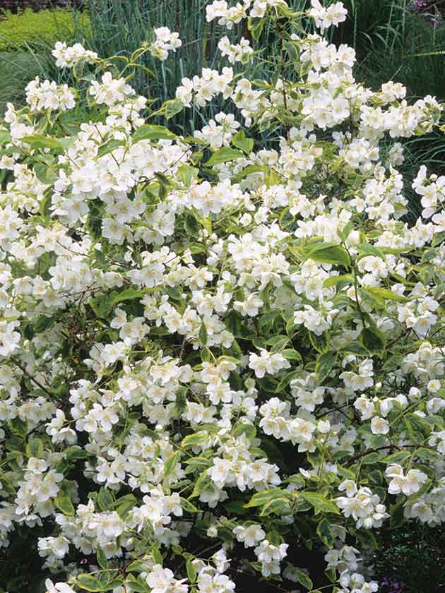 Best Shrubs For Long Lasting Loveliness