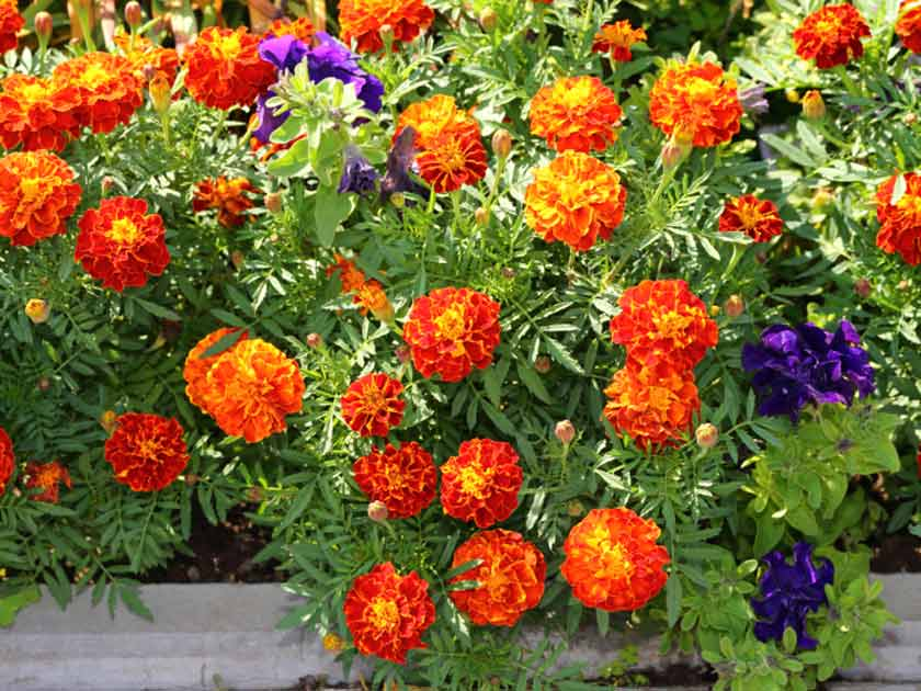 Container garden guide: Flower colour schemes