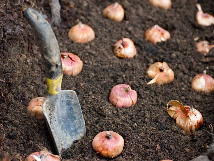 garden bulbs. Garden Bulbs O