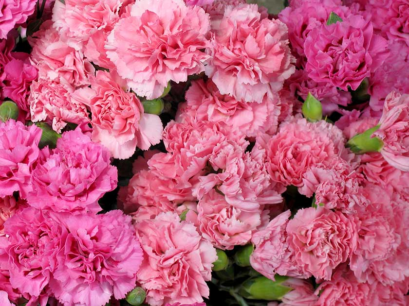 In the pink dianthus plants womans weekly dianthus plants are popular thanks to their old fashioned charm and wonderful scent istock mightylinksfo