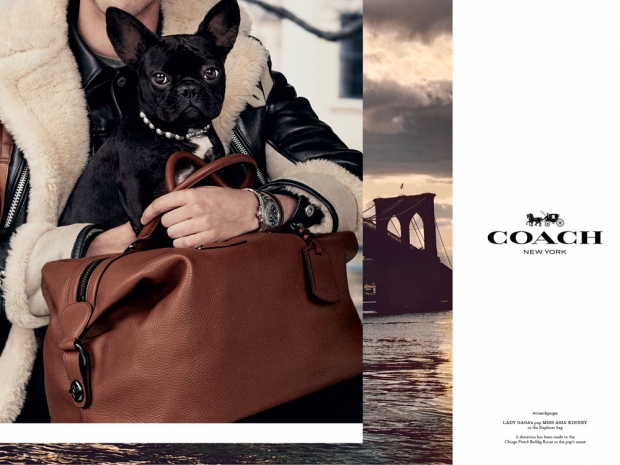 Lady Gaga's dog modelling for Coach