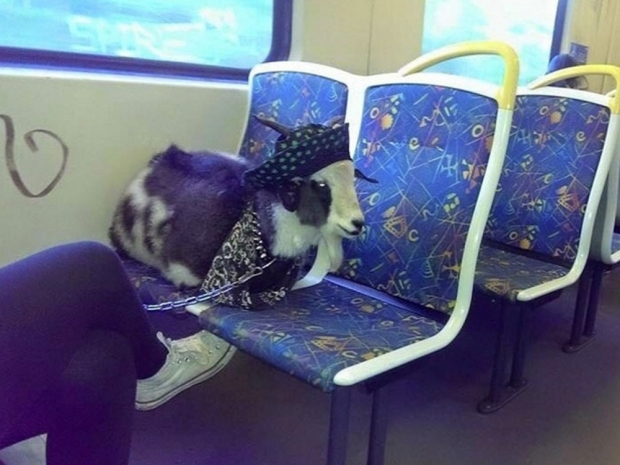 Australia's fashionable goat on a train.