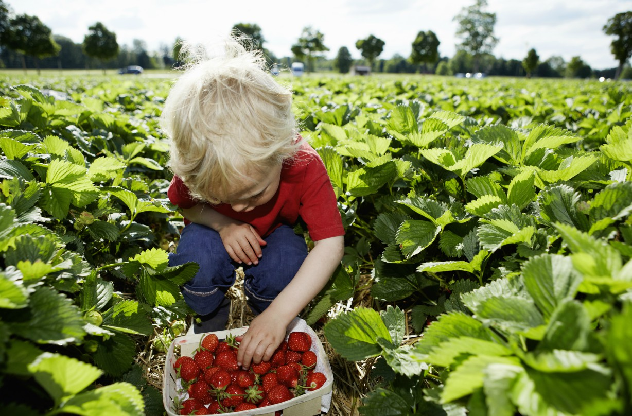 Strawberry picking places in the UK