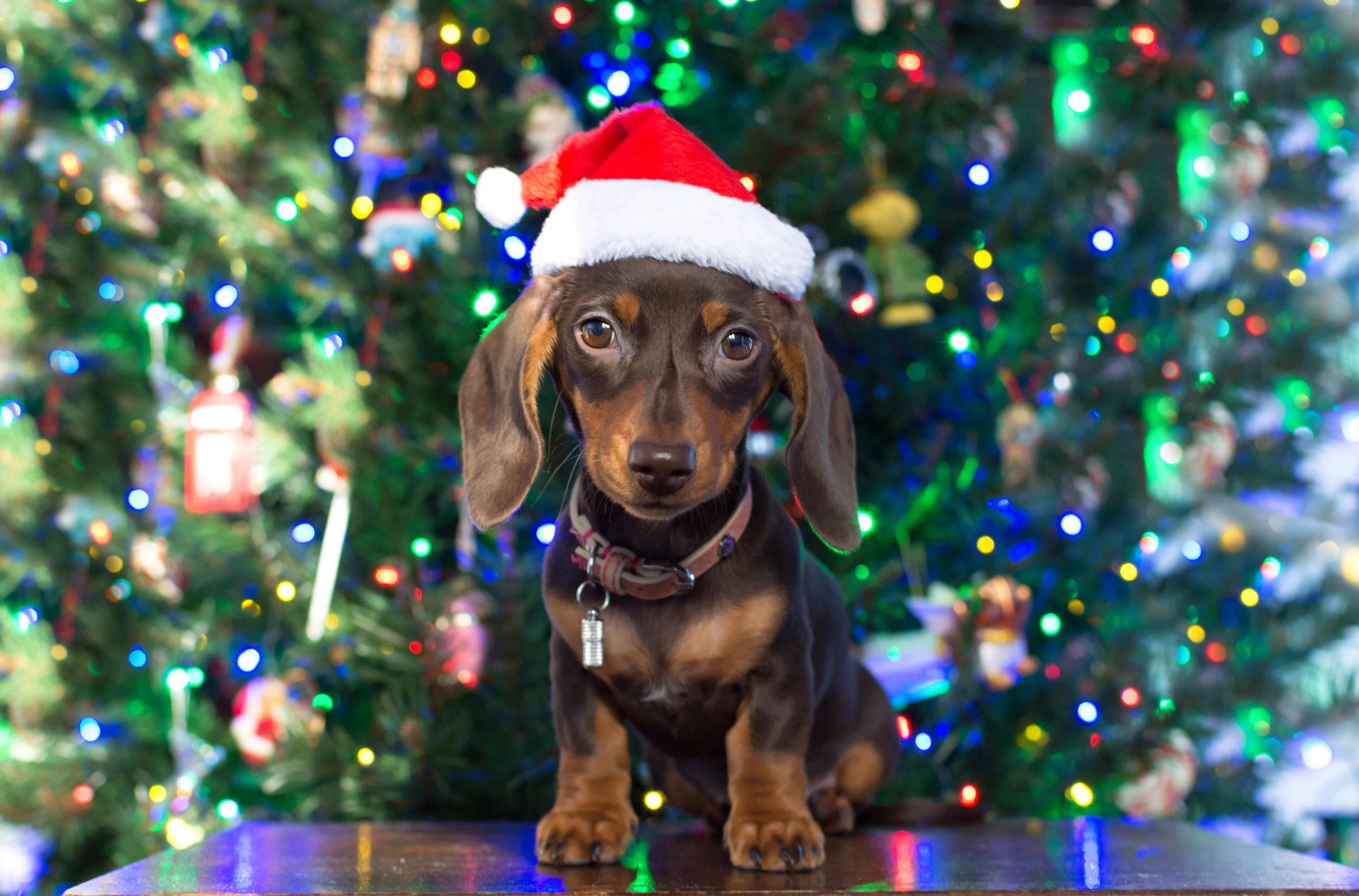Dachshund Puppy at Christmas Card